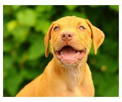Щенки питбуля Pitbull rednose - Image 3