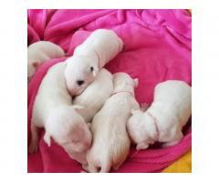 Bull Terrier puppies for sale - Image 1