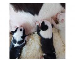 Bull Terrier puppies for sale - Image 2