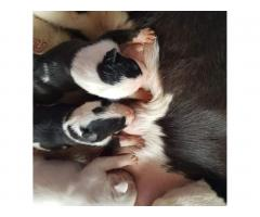 Bull Terrier puppies for sale - Image 8