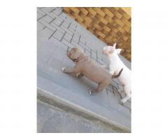 Bull Terrier puppies for sale - Image 9