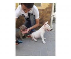 Bull Terrier puppies for sale - Image 10