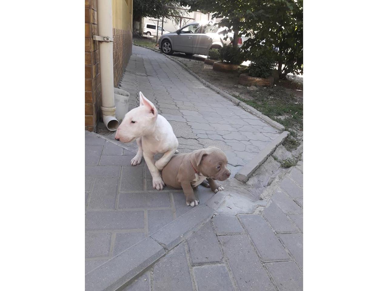 Продаются щенки Бультерьера и Питбуля. - 1