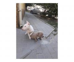 Продаются щенки Бультерьера и Питбуля. - Image 1