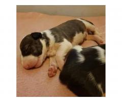 Продаются щенки Бультерьера и Питбуля. - Image 2