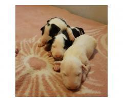 Продаются щенки Бультерьера и Питбуля. - Image 5