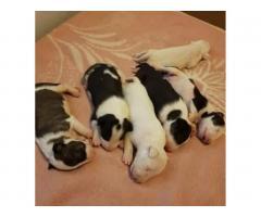 Продаются щенки Бультерьера и Питбуля. - Image 6