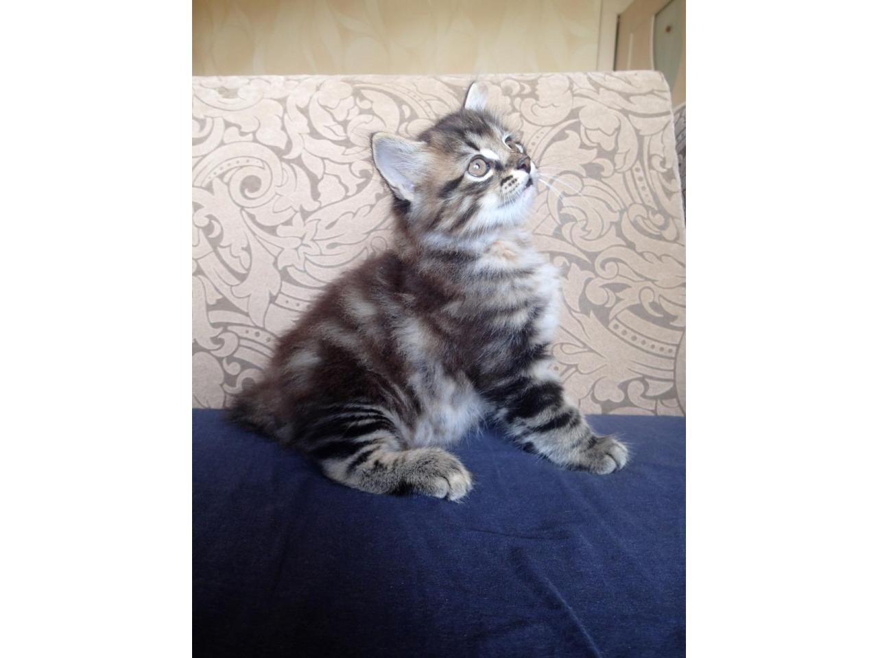 Котята Курильский Бобтейл - 3