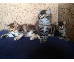 Котята Курильский Бобтейл - Image 7