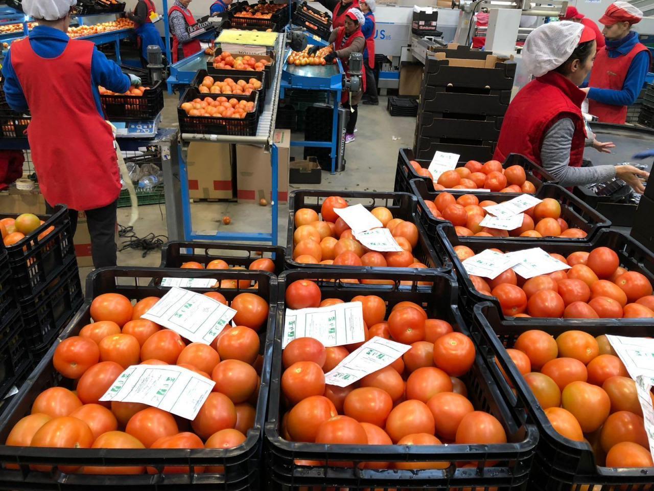 Продаем томаты из Испании - 2