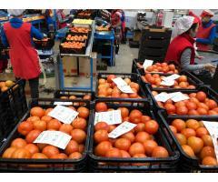 Продаем томаты из Испании - Image 2