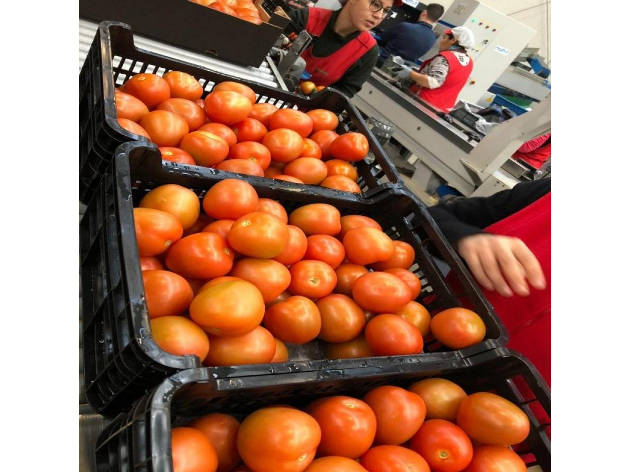Продаем томаты из Испании - 5