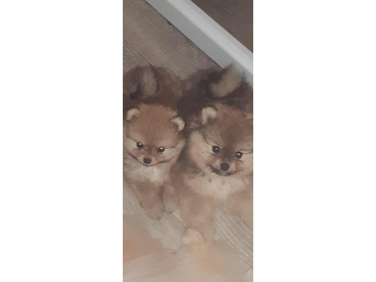 Шпиц померанский  щенки - 1