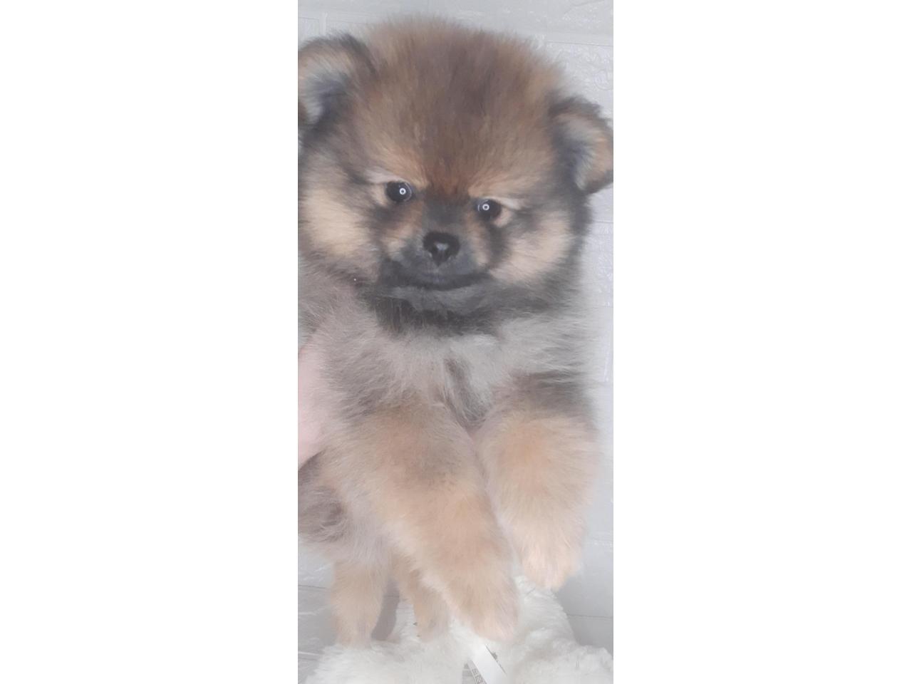 Шпиц померанский  щенки - 2