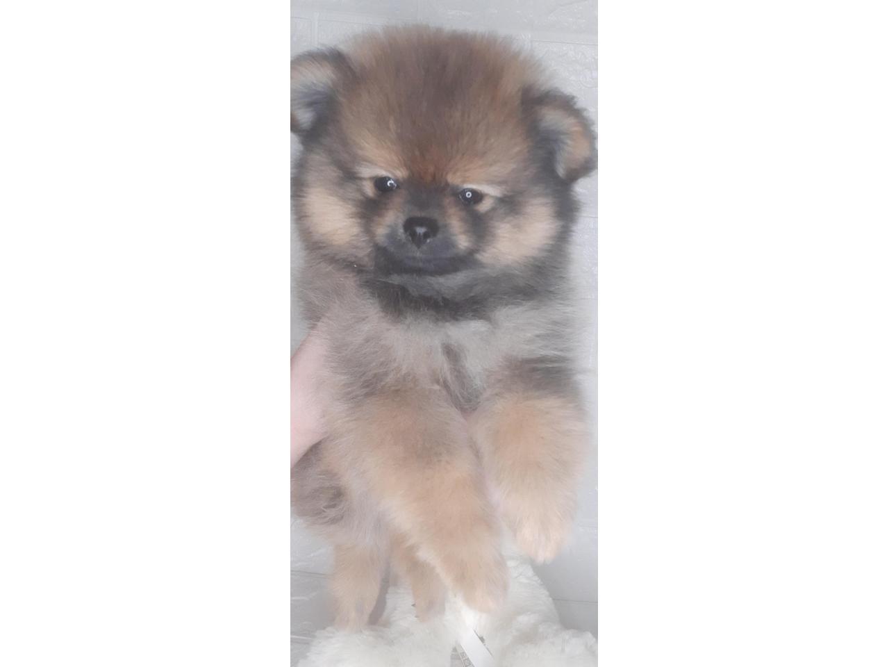 Шпиц померанский  щенки - 3