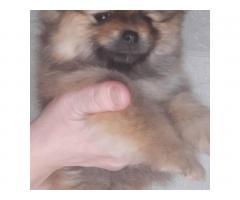Шпиц померанский  щенки - Image 6