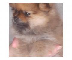 Шпиц померанский  щенки - Image 7
