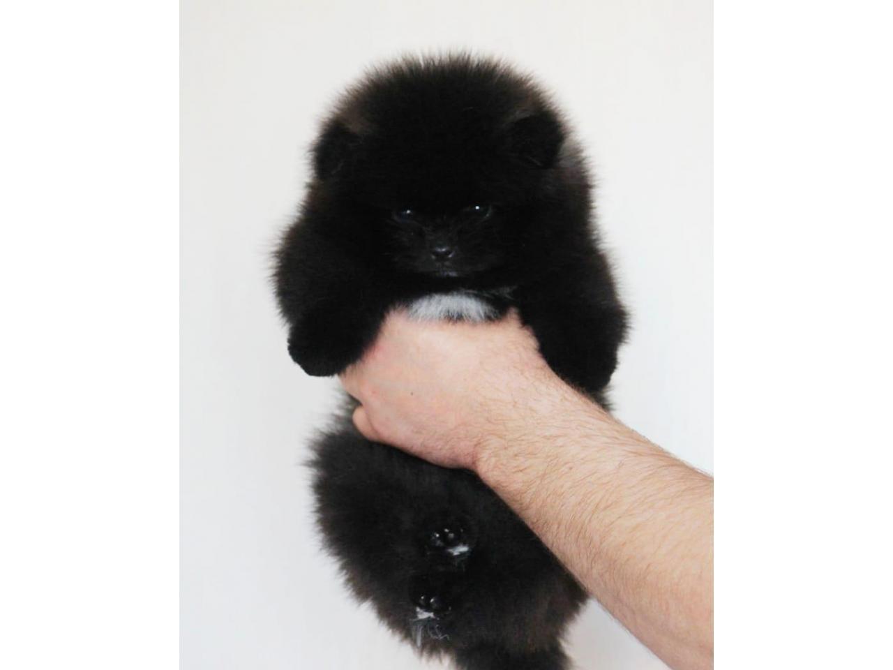 Красивые  щенки померанцы - 1