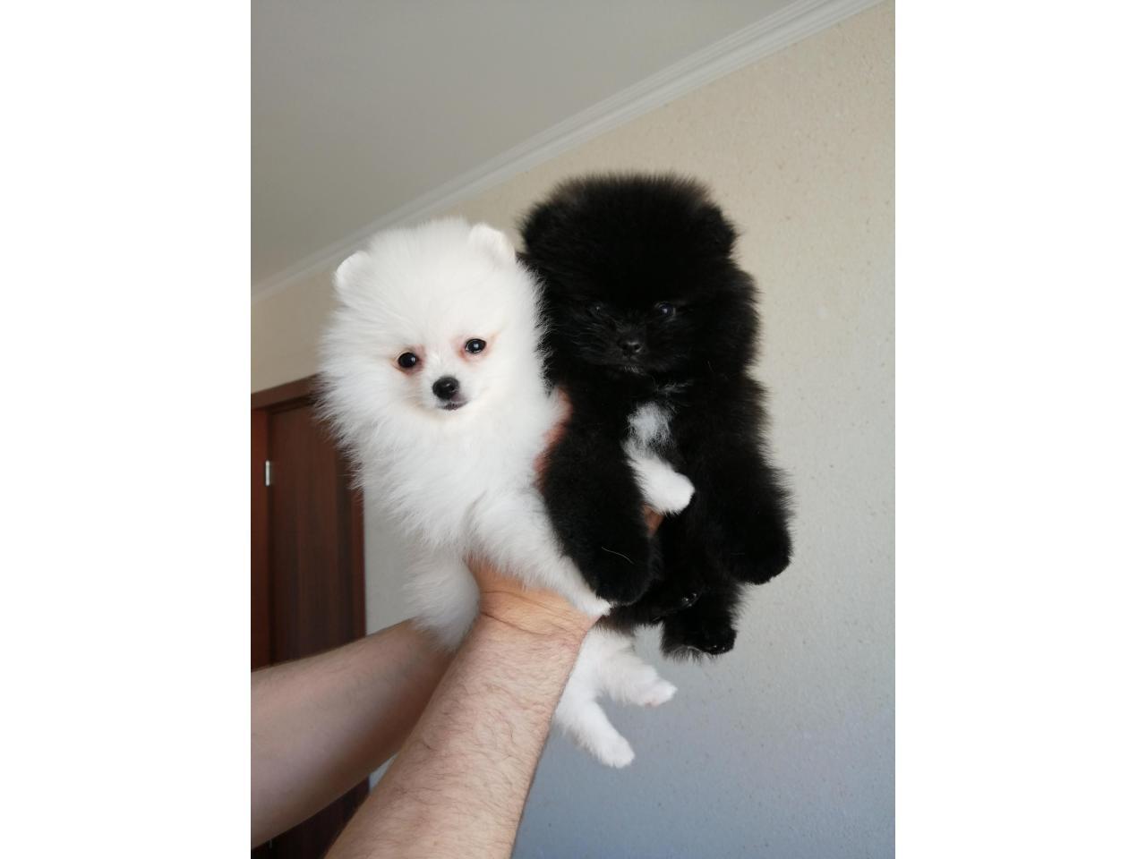Красивые  щенки померанцы - 2