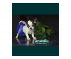 Chihuahua FCI - Image 1