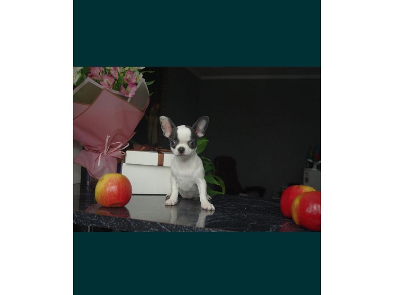 Chihuahua FCI - 2