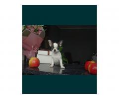 Chihuahua FCI - Image 2