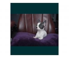 Chihuahua FCI - Image 3