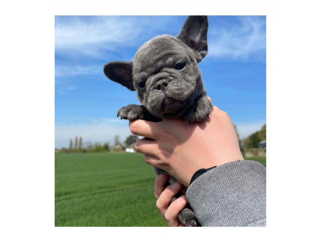 Испытанный на здоровье щенок французского бульдога - 1
