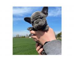 Испытанный на здоровье щенок французского бульдога - Image 1