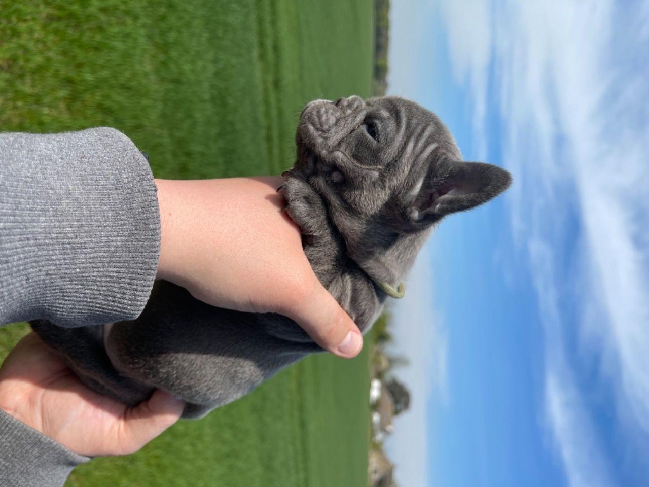 Испытанный на здоровье щенок французского бульдога - 2