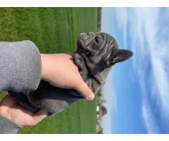 Испытанный на здоровье щенок французского бульдога - Image 2