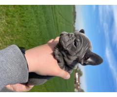 Испытанный на здоровье щенок французского бульдога - Image 3