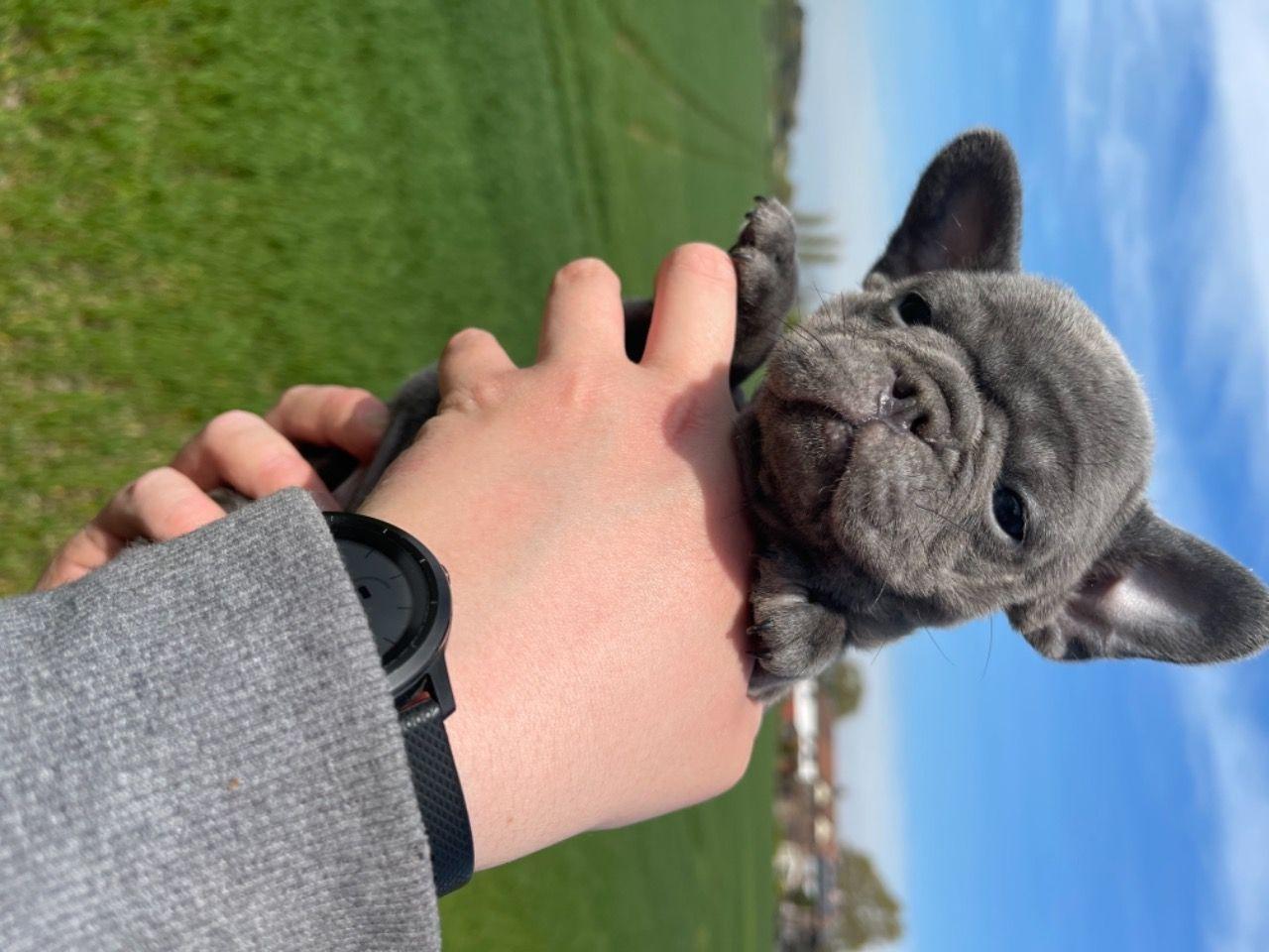 Испытанный на здоровье щенок французского бульдога - 4