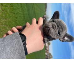 Испытанный на здоровье щенок французского бульдога - Image 4