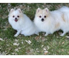 2 Pomeranian girls - Image 1