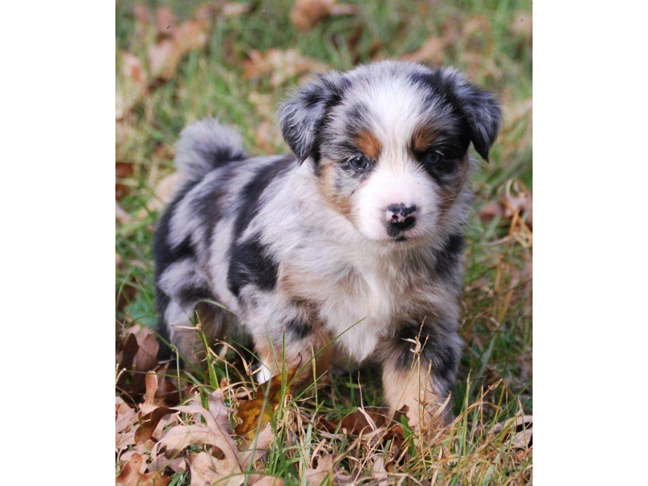 Nice Looking Australian Shepherd Puppies - 1