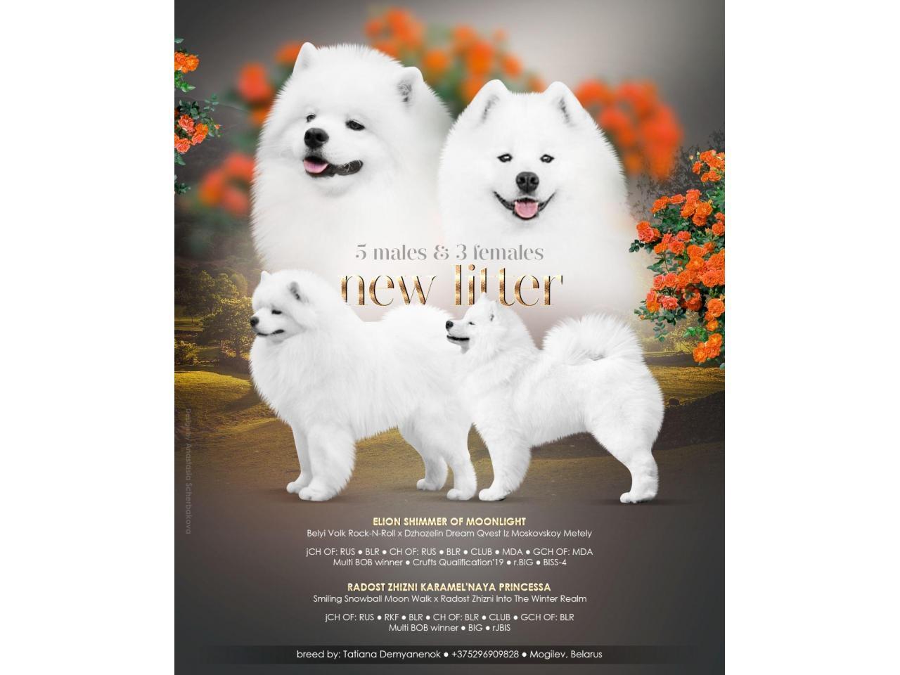 Щенки самоедской собаки - 1