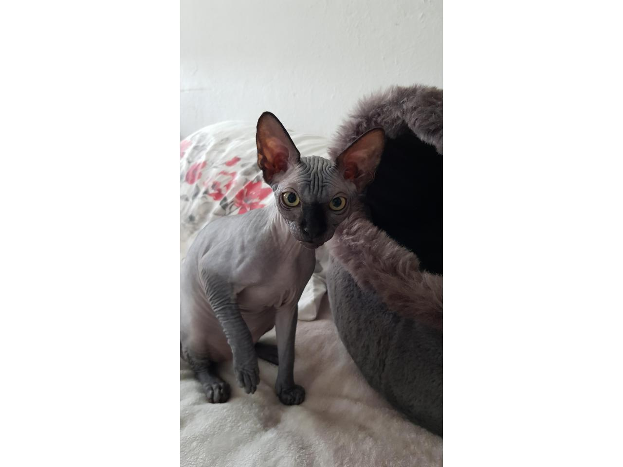 Милые котята канадские сфинксы❤ - 1