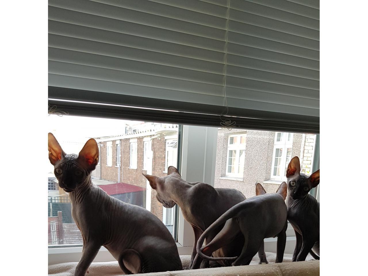 Милые котята канадские сфинксы❤ - 3