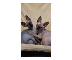 Милые котята канадские сфинксы❤ - Image 4