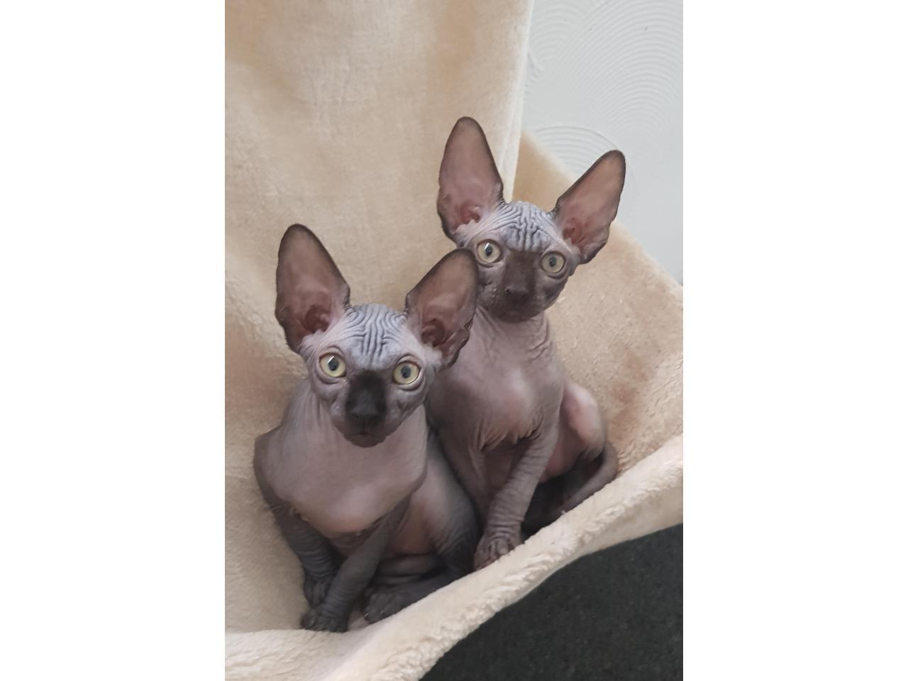 Милые котята канадские сфинксы❤ - 5