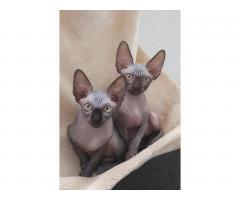 Милые котята канадские сфинксы❤ - Image 5