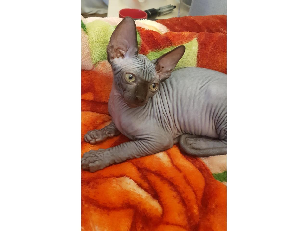 Милые котята канадские сфинксы❤ - 6