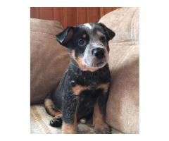 Puppies of the Australian kettle Dog - Image 2