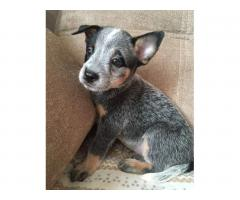 Puppies of the Australian kettle Dog - Image 3
