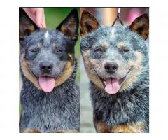 Puppies of the Australian kettle Dog - Image 4