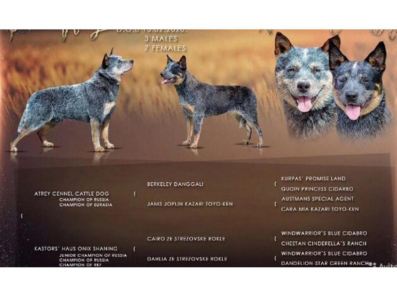 Puppies of the Australian kettle Dog - 7
