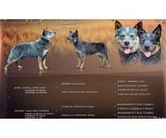 Puppies of the Australian kettle Dog - Image 7