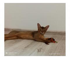 Абиссинские котята - Image 2
