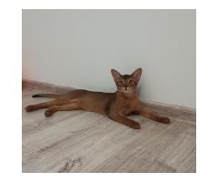 Абиссинские котята - Image 3